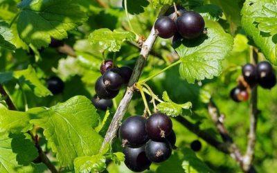 Ribes nigrum :  Pourquoi le Cassis nous fait tant de bien ?