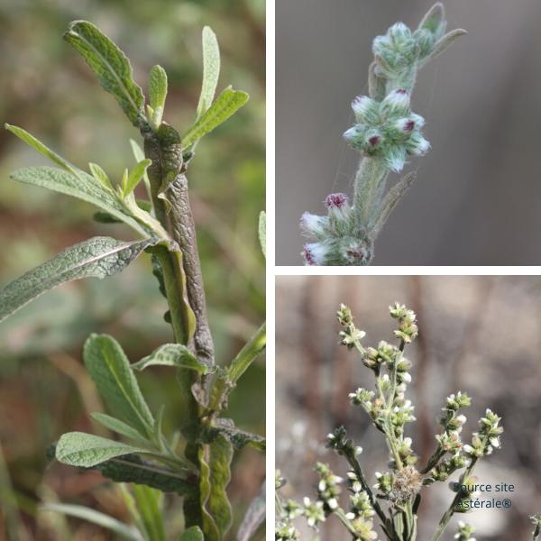 L'herbe des rois cette plante de la famille des Astéraceés originaire de Madagascar très utile dans ce temps de confinement